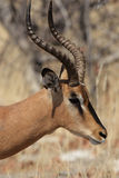 Black-faced Impala Stock Photos