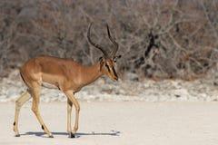 Black-faced Impala stock photo