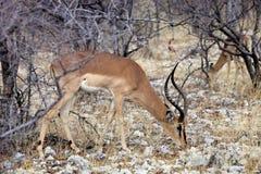 Black-faced Impala, Aepyceros melampus petersi in the bush Namibia Stock Images