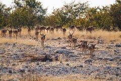 Black-faced impala, Aepyceros melampus petersi in Etosha Park, Namibia. Black-faced impala, Aepyceros melampus petersi in Etosha National Park, Namibia royalty free stock photos