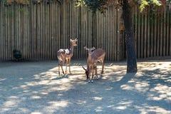 Black faced impala Aepyceros melampus petersi in zoo Barcelona.  stock image
