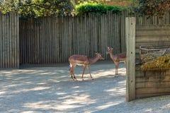 Black faced impala Aepyceros melampus petersi in zoo Barcelona.  stock photos