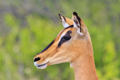 Black-faced Impala - African Wildlife Background - Super Nature. A Black-faced Impala ewe stares into the distance, as seen in the wilds of Namibia, southwestern Royalty Free Stock Photography