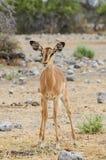 Black-faced impala. In Etosha National Park Royalty Free Stock Image