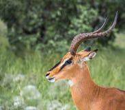 Black-faced impala in Etosha national park, Namibia Royalty Free Stock Photography