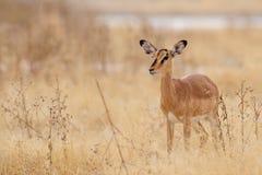 Black faced impala, etosha nationalpark, namibia Stock Images