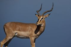 Black-faced impala in front of blue waterhole Stock Photo