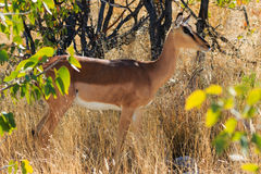 Black-faced impala between grass and trees Namibia Royalty Free Stock Image