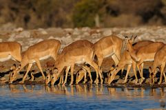 Black faced impala herd drinking, etosha nationalpark, namibia. Black faced impala herd are drinking on a waterhole, etosha nationalpark, namibia, aepyceros Stock Photos
