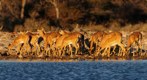 Black faced impala herd on a waterhole Royalty Free Stock Photography