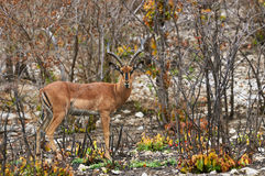 Black faced impala. Male of black faced Impala, orizontally in Tanzania Stock Photos