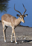 Black Faced Impala - Namibia Royalty Free Stock Photo