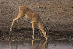 Black-faced impala Ram at Waterhole Royalty Free Stock Image