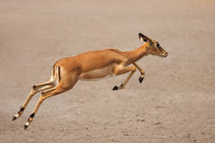 Black-faced impala running. Black-faced impala (female) running over sandy plains of Etosha at waterhole; Aepyceros melampus petersi Stock Photography