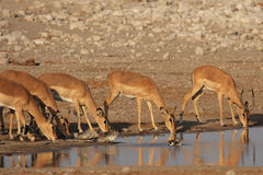 Black-faced Impalas Stock Photography