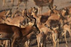 Black-faced Impalas stock photography