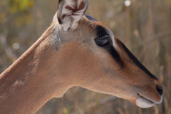 Black-faced impalas (Aepyceros melampus) Royalty Free Stock Photos