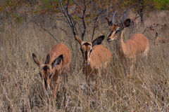Black-faced impalas (Aepyceros melampus) Stock Image