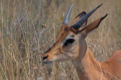 Black-faced impalas (Aepyceros melampus) Stock Images
