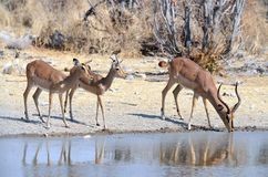 Black-faced impalas drinking Royalty Free Stock Image