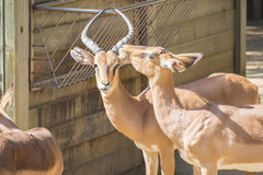 Black faced Impalas staying in the sun, Aepyceros Melampus Peter. Si Stock Photo