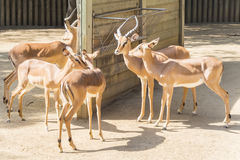 Black faced Impalas staying in the sun, Aepyceros Melampus Peter. Si Stock Photos