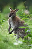 Black-faced kangaroo Royalty Free Stock Image