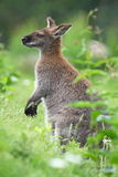 Black-faced kangaroo Stock Photography