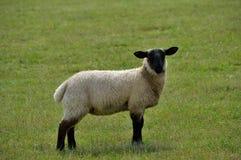 Black faced lamb Royalty Free Stock Photo