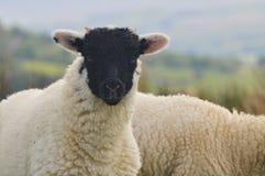 Black Faced Lamb, Keswick. A Black Faced Lamb in Fields Above Keswick Royalty Free Stock Photos