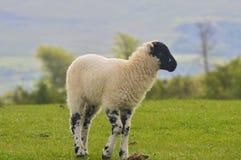 Black Faced Lamb, Keswick. A Black Faced Lamb in Fields Above Keswick Royalty Free Stock Photo