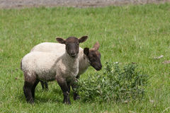 Black faced lambs chewing a thistle Stock Photography