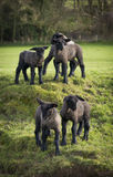 Black faced lambs in a Dorset field Stock Image