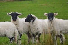 Black Faced Lambs, Keswick. A Black Faced Lambs in Fields Above Keswick Stock Photo
