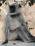 Black faced langur monkey Stock Photos