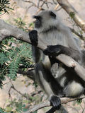 Black faced langur monkey Stock Image