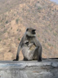 Black faced langur monkey mother and child, Royalty Free Stock Image