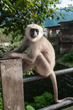 A black faced langur Stock Image