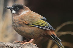 Black-faced laughingthrush Stock Photo