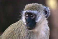 Black faced marmaset. Profile of black faced marmaset monkey stock photos