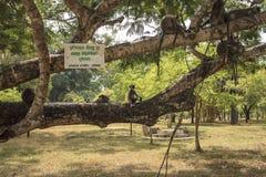 Black faced monkey family sitting on a tree stock photo