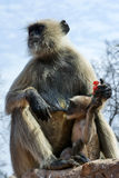 Black faced monkey. Feeding her baby Stock Images