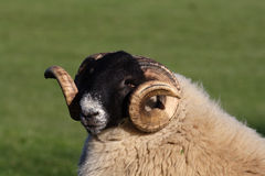 Black faced Ram. With horns royalty free stock image