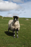 Black-faced sheep. An alert black-faced sheep with horns Royalty Free Stock Image