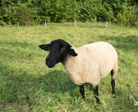 Black-faced sheep Stock Photo