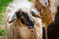 Black-faced sheep. A white sheep with its black face Royalty Free Stock Photos
