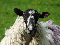 Black faced sheep. Close up of black faced sheep with long coat in a field Stock Image