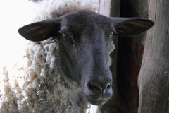 Black Faced Sheep. Close up of a black faced sheep taken in New Zealand Royalty Free Stock Images