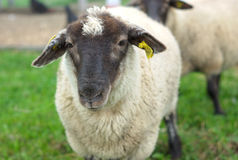 Black faced sheep in field at the farm Stock Image