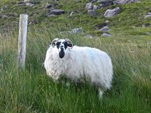 Black faced sheep on Dingle Peninsula in Ireland. Black faced sheep grazing on Dingle Peninsula and Ring of Kerry trip, Stones, fencepost and long grasses add to Royalty Free Stock Photography